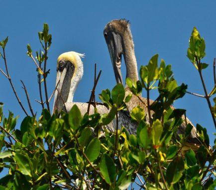 Pelicans - Pelícano cafe - P' onto