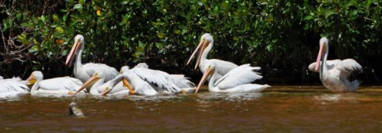 Pelicans on holiday from Canada