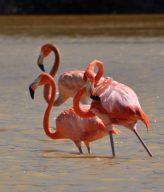 Flamingos - Flamencos - Mecoh