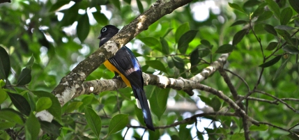 Trogon in Dzibilchaltún