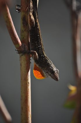 An anole and it's red dewlap,